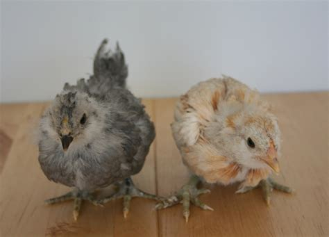 marin chickens  chicks   weeks  easter eggers