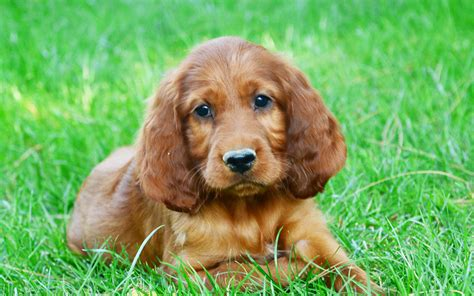 irish setter dog irish setter puppies breed information puppies for sale