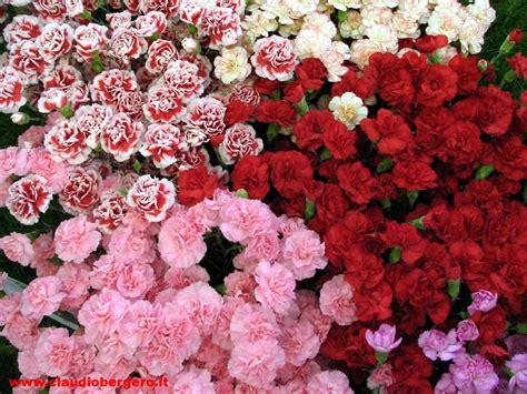 fiori di garofano garofani per la principessa peranca