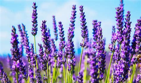 Minyak Bunga Lavender 25ml Murni 34 jenis tanaman pengusir nyamuk di rumah tanaman hias tanaman hias