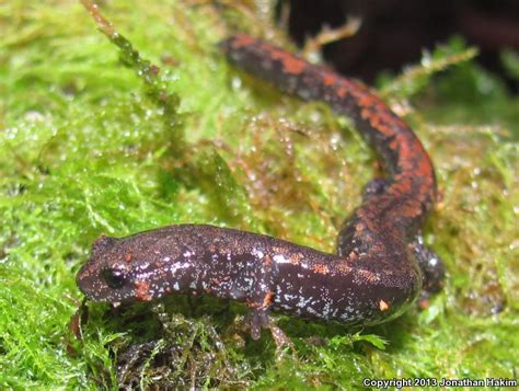 Oregon Records Database Field Herp Forum View Topic Simple Introduction To The