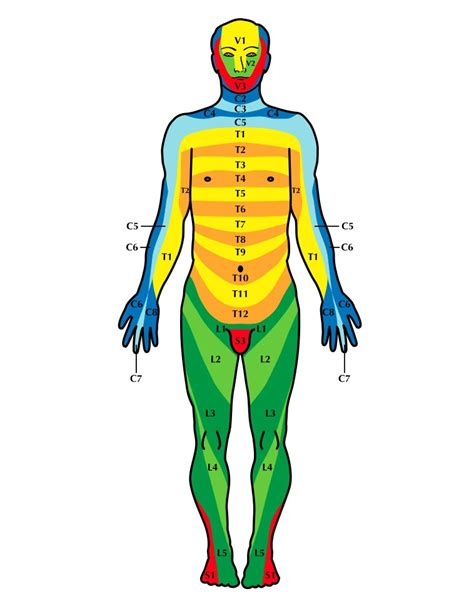 dermatomes map l1 dermatome pictures to pin on pinsdaddy