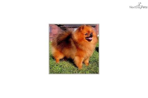 pomeranian average weight puppies for sale from delpom s pomeranians nextdaypets