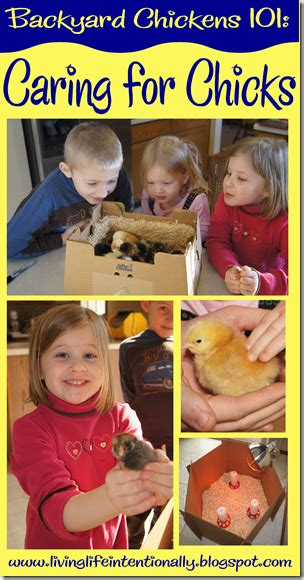 raising chickens 101 bring up baby chicks the old backyard chickens 101 caring for baby chickens