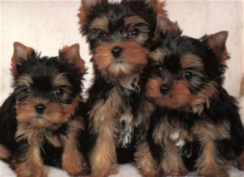 yorkie malta yorkie puppies malta classified ads