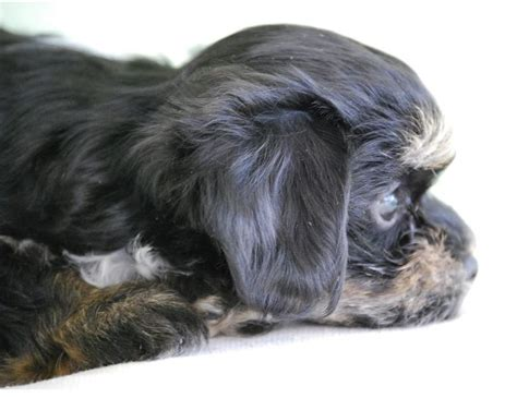 colors of havanese dogs beautiful puppy picture of a havanese pup in three toned colors jpg hi res 720p hd