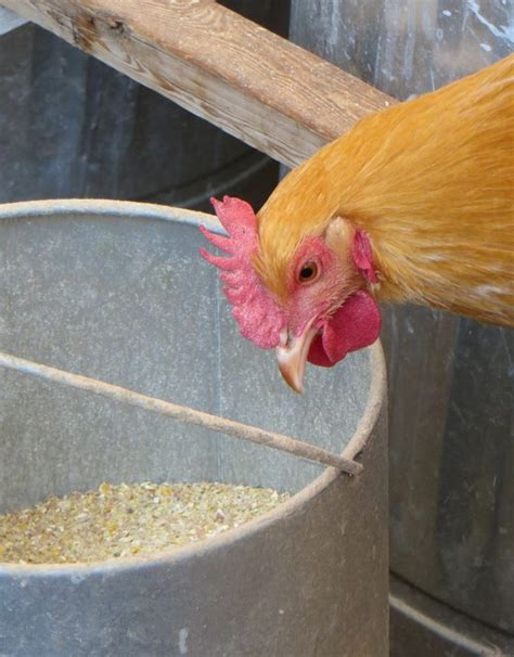129 best images about chickens and quail on