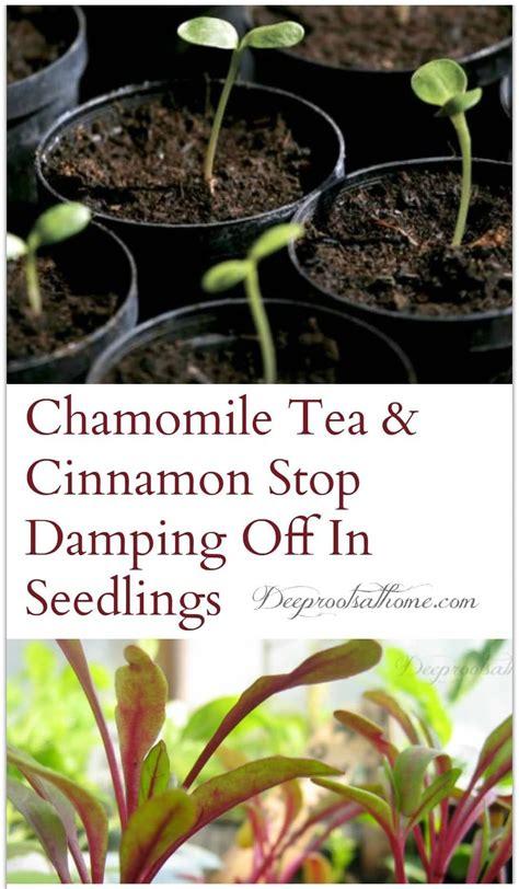 natural antifungals  prevent damping   seedlings