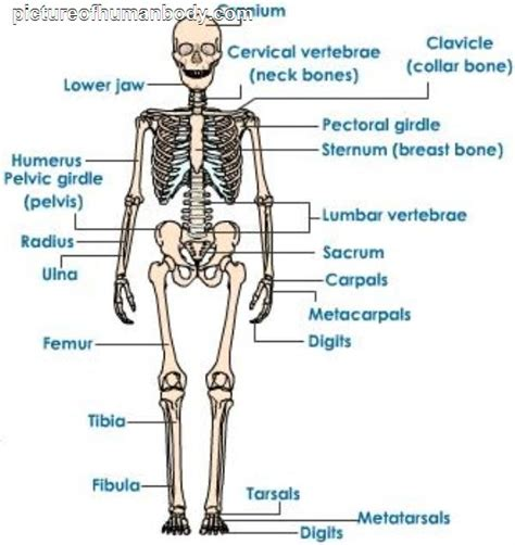 human bones diagram human skeleton diagram for pictureofhumanbody