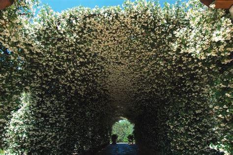 gelsomino fiori secchi pianta gelsomino piante da giardino pianta di gelsomino