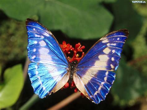 beautify worldwide motyl niebieski