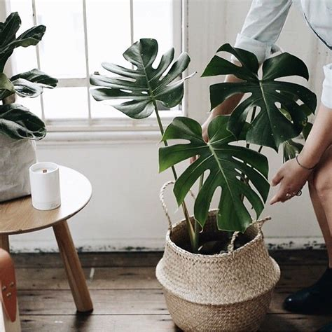 in door plants pot three four plants argements video best 25 philodendron monstera ideas on pinterest plants