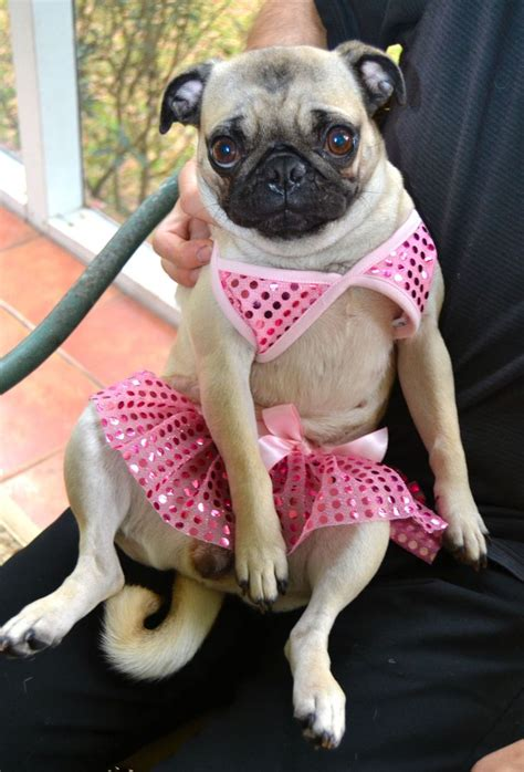 pug swimsuit 129 best images about pug on search and black pug