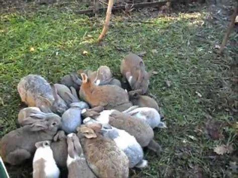 allevare conigli in gabbia conigliopoli 2012 conigli allevati a terra in garenna