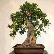 increibles arboles bonsai  frutas taringa