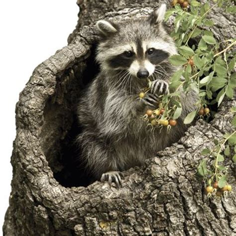how to prevent raccoons in backyard 17 best images about havahart 174 animal repellents on