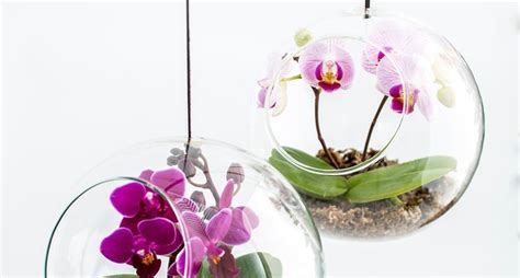 orchidea in vaso trasparente mini orchidee orchidee orchidee piccole dimensioni