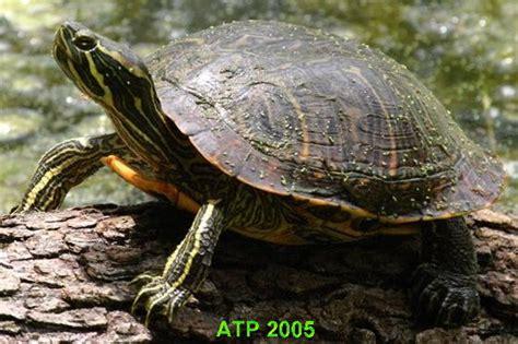 alimentazione trachemys trachemys scripta troosti su tartarughe