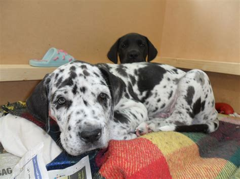 german great dane puppies for sale great dane breeders in ohio breeds picture