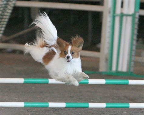 puppy agility agility images nitro the agility papillon hd wallpaper and background photos 8641965