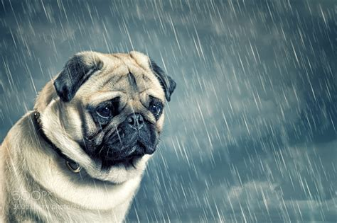 sad pug puppy manfred the sad pug by lasse b 500px