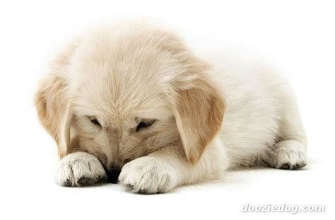 images golden retriever puppies golden retriever puppy 6 jpg