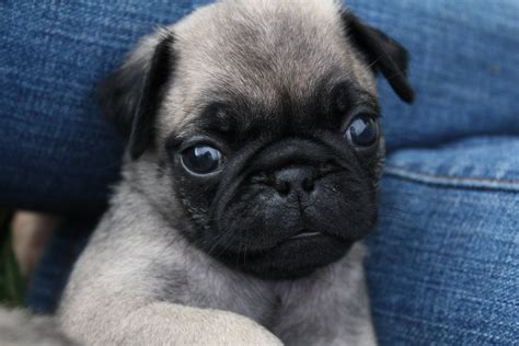 blue pug pug with blue breeds picture