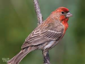 Southwest House House Finch Wild Delightwild Delight