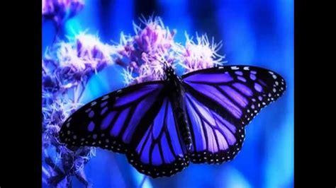 imagenes de mariposas morfo azul mariposa hermosa morfo azul youtube