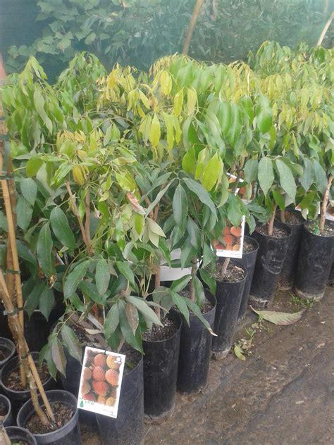 piante frutto in vaso litchi in vaso varier 224 chinensis balestrate palermo