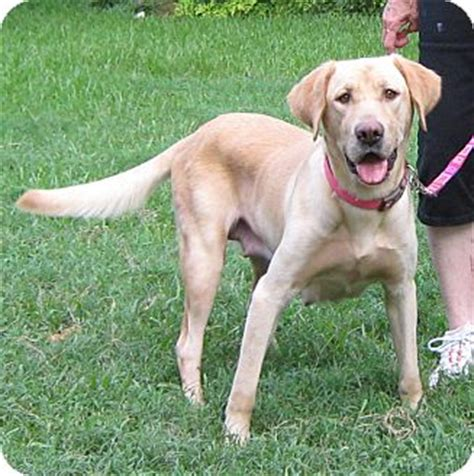 lab golden retriever mix rescue adopted tx labrador retriever golden retriever mix
