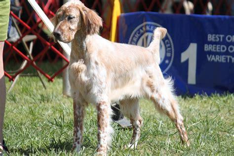 spanish setter dog english setter breed information english setter images