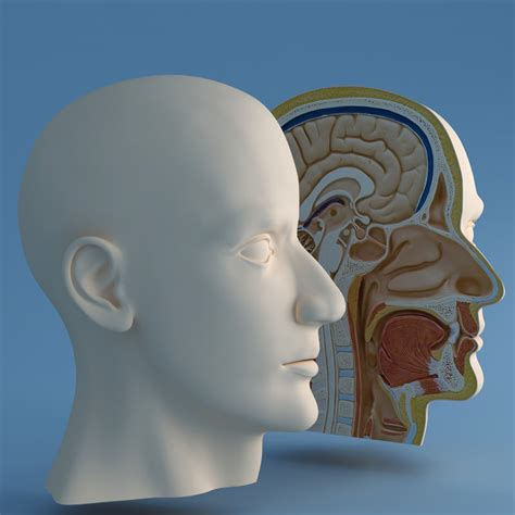 human head cross section 3dsmax correct head cutaway