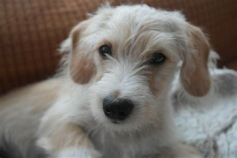 mauxie puppy maltese and dachshund breeds picture