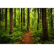 Hiking Through Tall Trees In A Lush Forest Shenandoah National Park