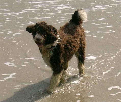 water breeds water breeds list these dogs water swimming dogs k9rl