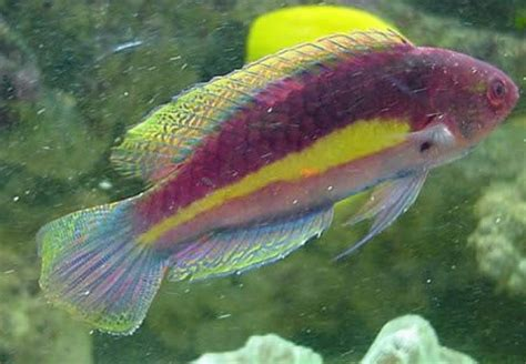 bird wrasse aquatic veterinary services of northern animals world top screensavers of fishes wrasses gallery
