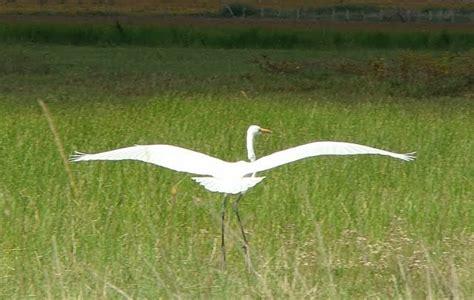 imagenes garzas blancas aves de chacabuco garza blanca