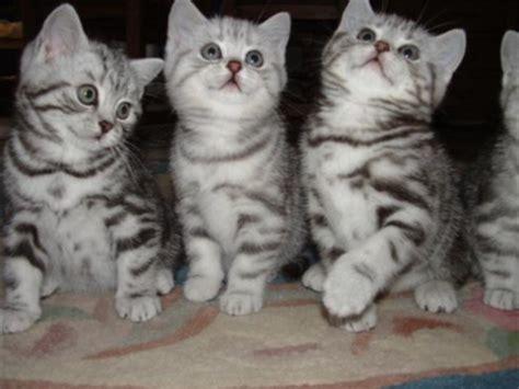 britse korthaar kittens voor katten dieren dieren britse korthaar kittens voor de overname