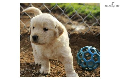 golden retriever therapy dogs for sale golden retriever puppy for sale near carolina 95123d95 1721