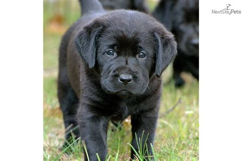 lab puppies for sale in arkansas black lab puppies for sale