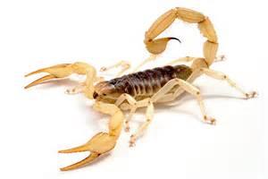 arizona scorpion hadrurus arizonensis collected