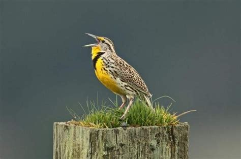 western meadowlark state of oregon official bird by jim