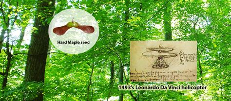 what is the link between maple trees and helicopters sylka ca