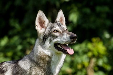 northern inuit dog breed facts highlights buying