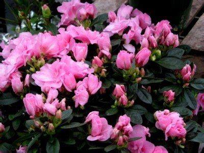 azaleas  houseplants   grow azalea indoors