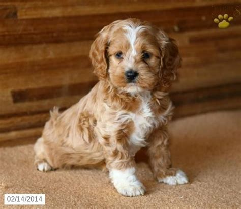 cockapoo puppies for sale in pa 25 b 228 sta cockapoo puppies id 233 erna p 229 valpar hundar och valpar och