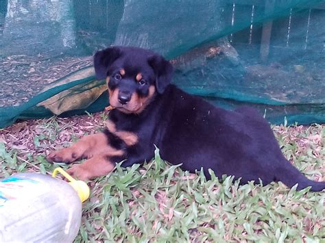 rottweiler puppies for sale sydney rottweiler puppies 4 sale