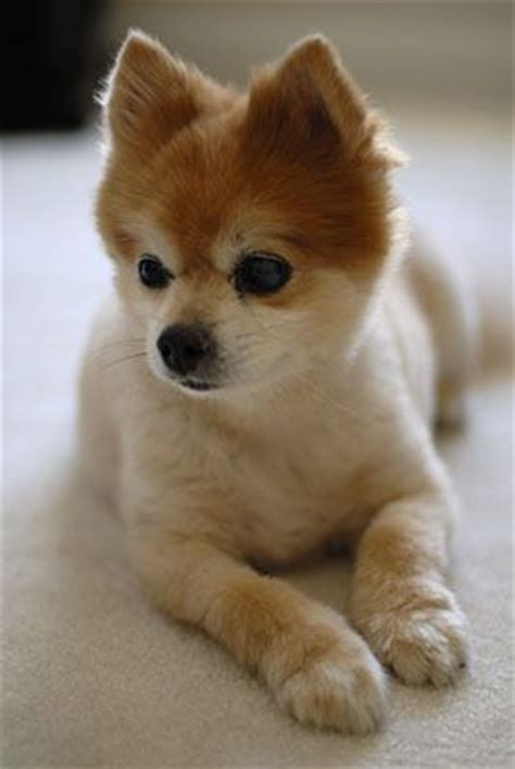pomeranian with hair 25 best ideas about pomeranian haircut on haircuts grooming