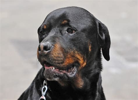 how much does a rottweiler puppy cost how much does a rottweiler cost howmuchisit org